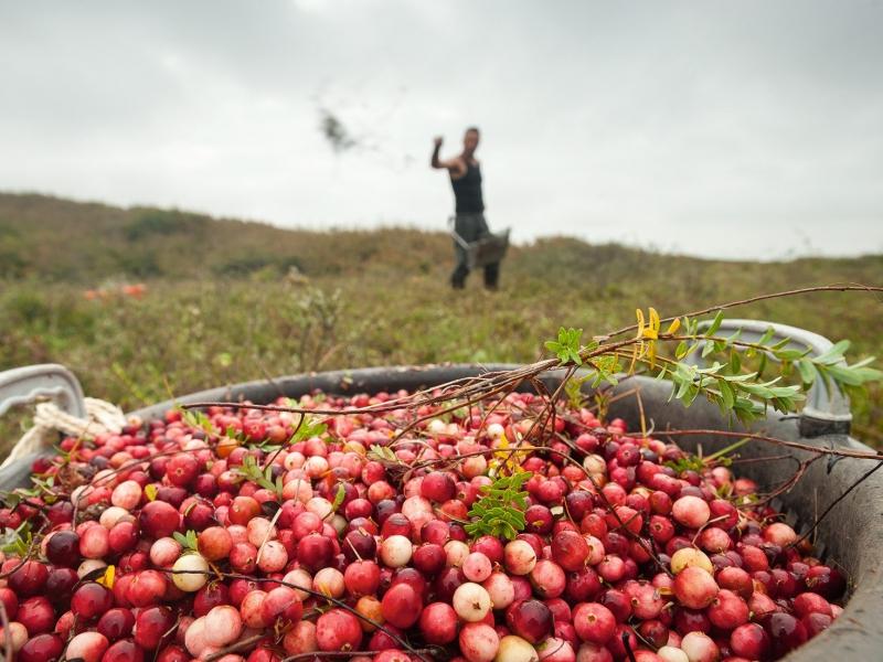 Terschellinger Cranberries